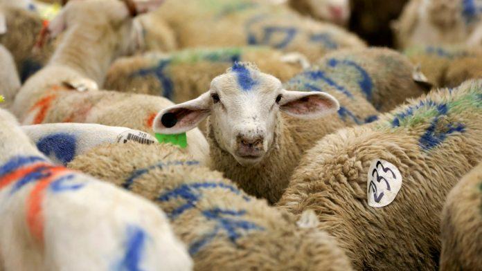 hewan sembelihan non-muslim